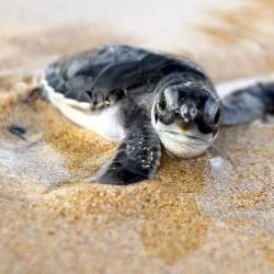 baby sea turtles in nicaragua